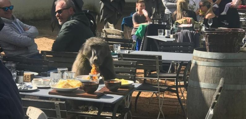 Baboon enjoys two dinners at top restaurant – and doesn't even pay his bill