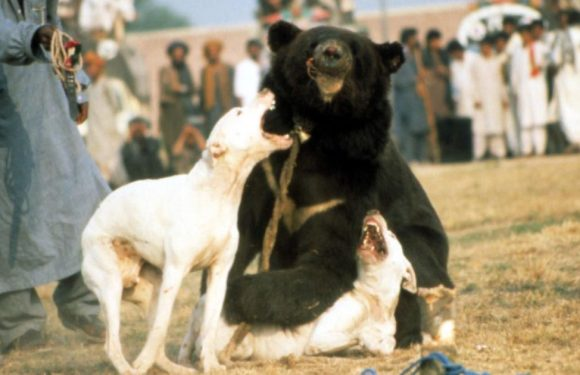 Inside blind bear's horrific plight as he's tied up, muzzled and forced to fight
