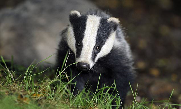 Badger culling is widened to 11 new areas across England