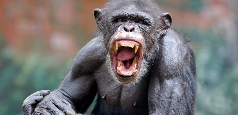 Chimpanzee on the loose, harassing people and dogs, reports say