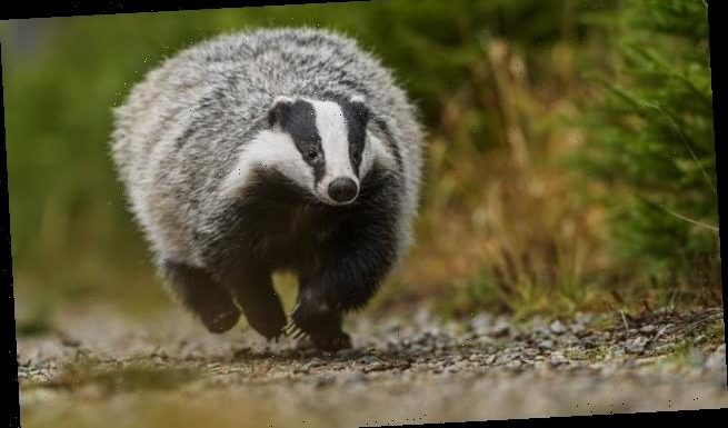 Killing badgers can cut tuberculosis rates in cows by 66 per cent