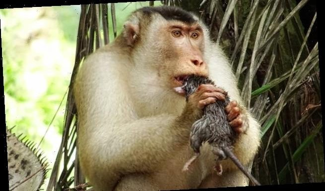 Pig-tailed macaques work as 'pest control' by EATING rodents
