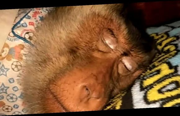 Monkeys share human bed, wear clothes and live in house like married couple