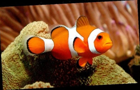 Finding Nemo fish uses its ultraviolet light to find friends