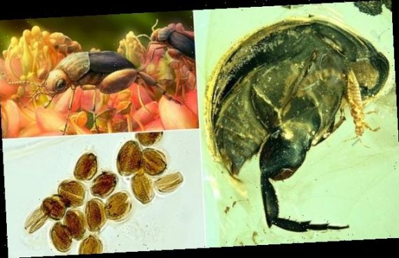 Beetle fossilised in amber reveals earliest evidence of pollination