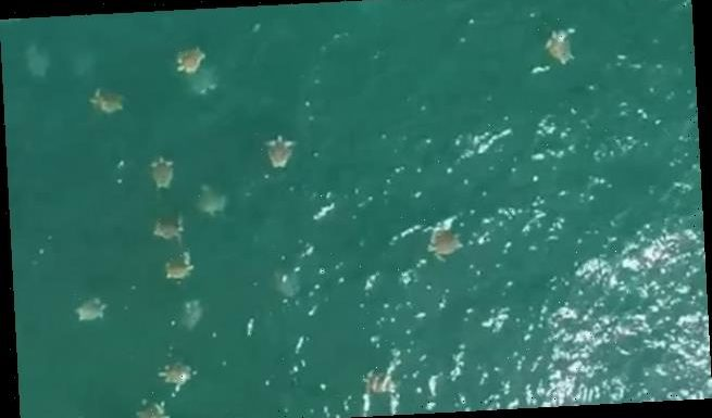 Footage shows the greatest density of sea turtles ever recorded
