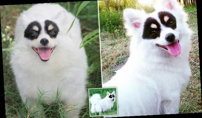 Dog looks just like the masked swordsman thanks to its colouring