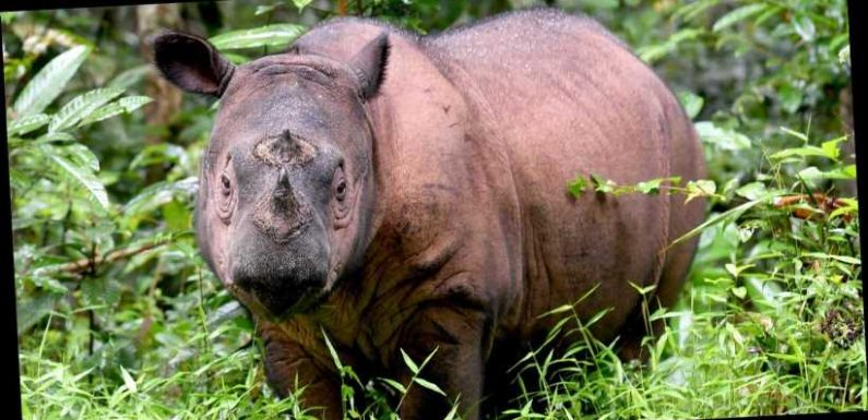 Last Sumatran rhino in Malaysia dies. Species almost extinct after deforestation, poaching