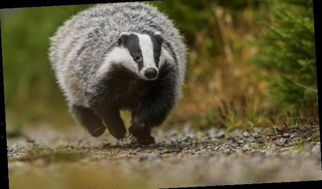 Cattle are twice as likely to catch TB from other cattle than badgers