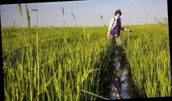 Arsenic levels in rice are rising due to climate change