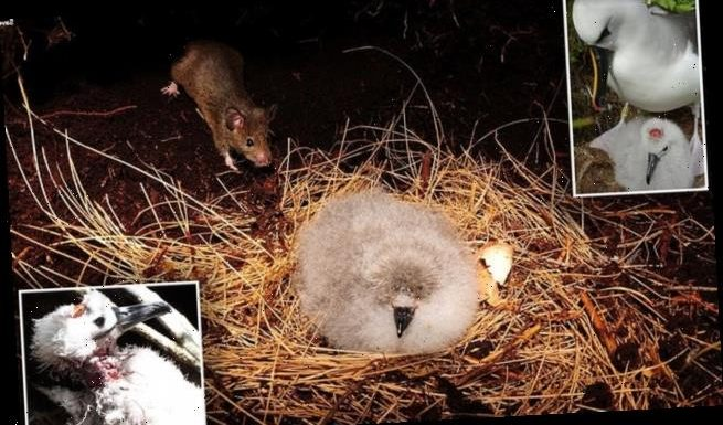 Mobs of mice are attacking adult albatrosses and eating their chicks
