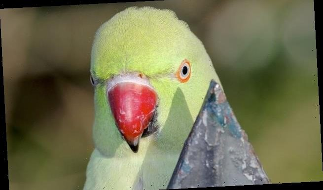 Jimi Hendrix is NOT to blame for Britain's plague of 170,000 parakeets
