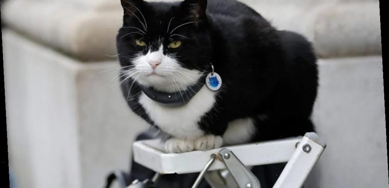 Palmerston, British Foreign Office's resident cat, returns after 6-month recovery for weight gain, stress