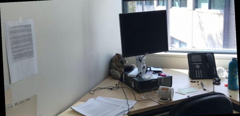 Worker feared office had been broken into before discovering adorable culprit