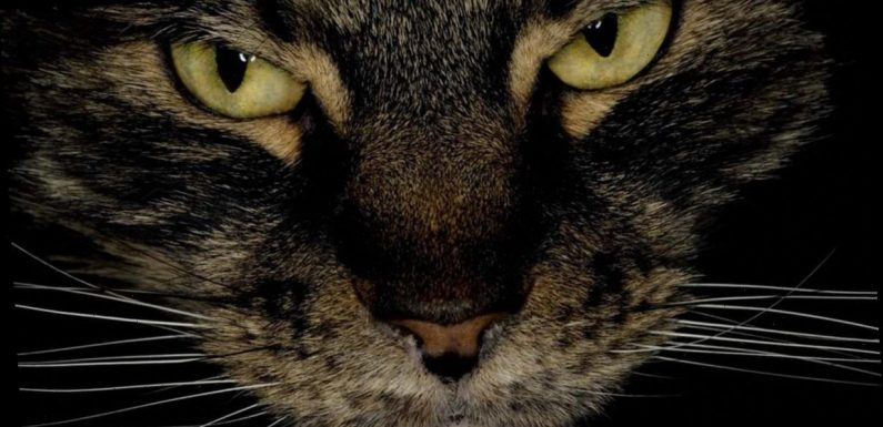Your cat could eat you if you die as study shows felines feast on human corpses