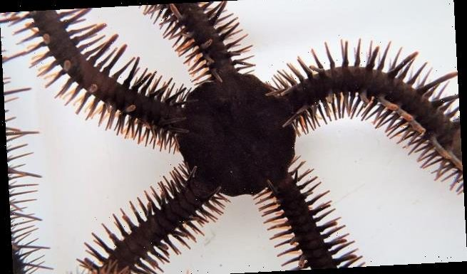 Starfish-like creature sees by creating a 'pixel like image'