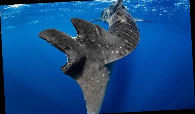 One in five whale sharks has been injured by a commercial ship