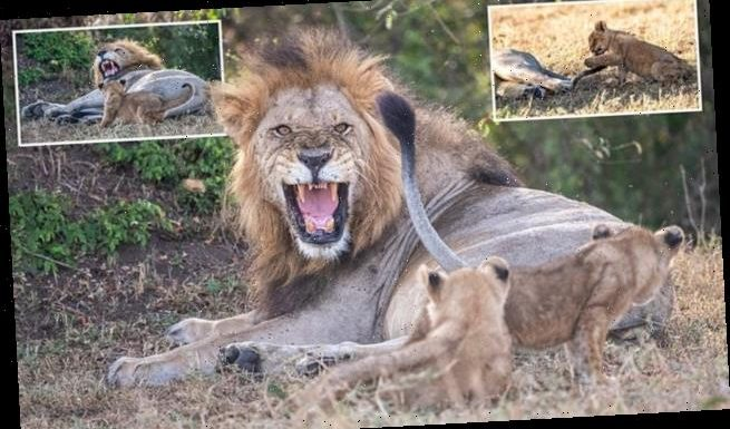 Dad is NOT in the mood to play! Grumpy lion roars as cub annoys him