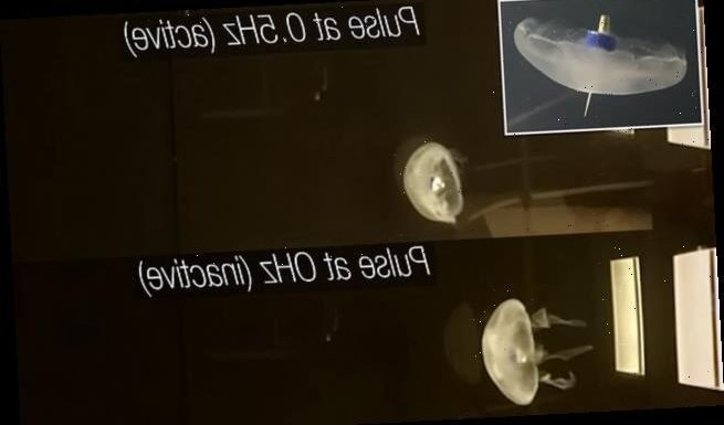 Scientists create cyborg jellyfish that can swim THREE TIMES faster