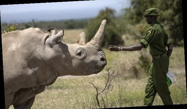 Third embryo created in efforts to save northern white rhino