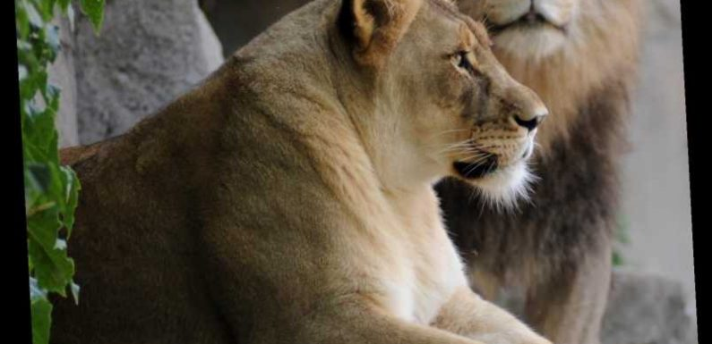 Illinois zoo staff, visitors heartbroken after female lion euthanized less than 2 weeks after longtime mate