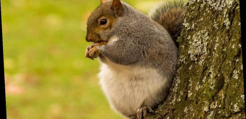 Incredible pictures show 'fattest squirrel in the UK' and it can't stop eating