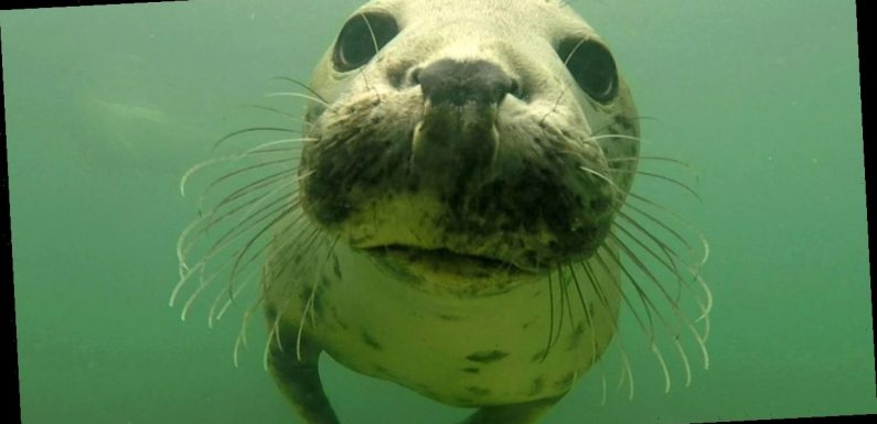 Wild grey seal seen 'clapping' for the first time to seduce a mate