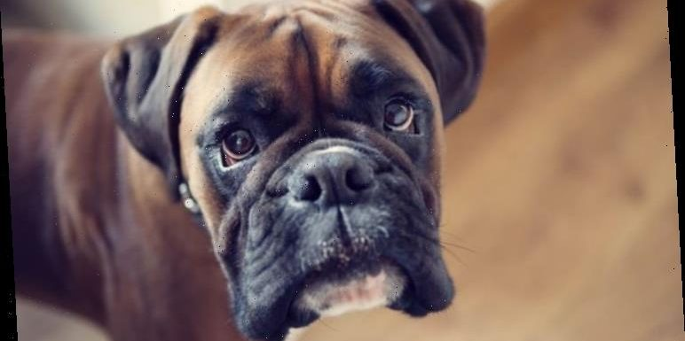 Coronavirus UK: What to do if your dog is infected? Can dogs catch the coronavirus?