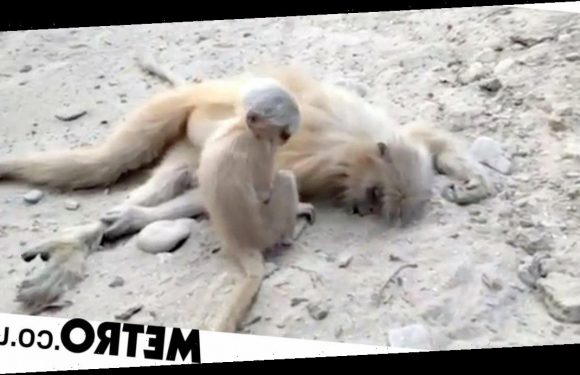Grieving baby monkey tries to wake up mum after she's electrocuted