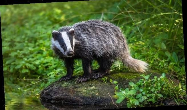 Badger culling to be phased out in favour of bovine TB vaccinations