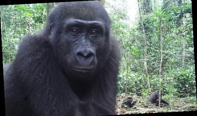 Gorillas are territorial and claim 'ownership' of their home ranges
