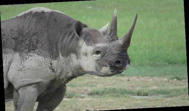 Glimmer of hope for the African Black Rhino