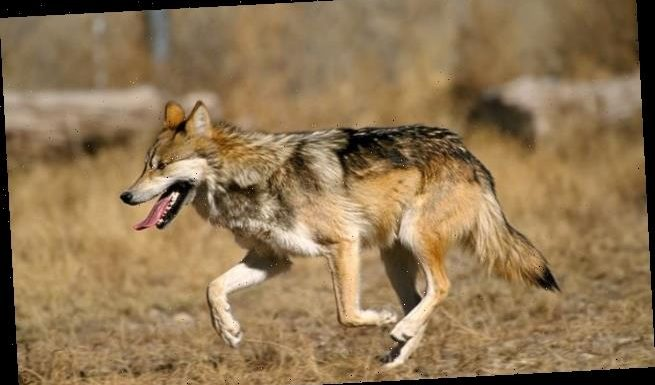 Mexican gray wolf population in the US grew by 24 percent in 2019
