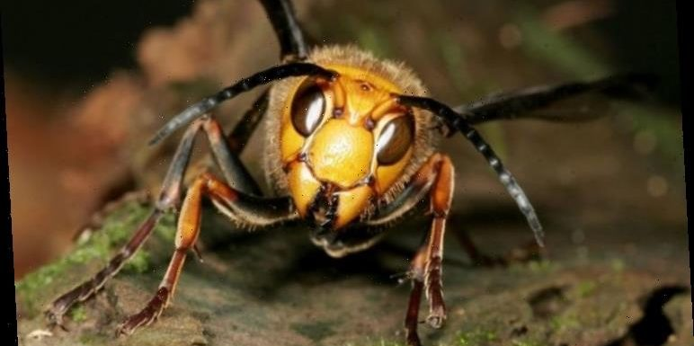 Asian hornets with sting which can kill have invaded the UK – and it could cost £7million