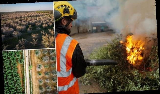 Deadly Disease Killing Olive Trees Could Cost The Industry 17 5bn