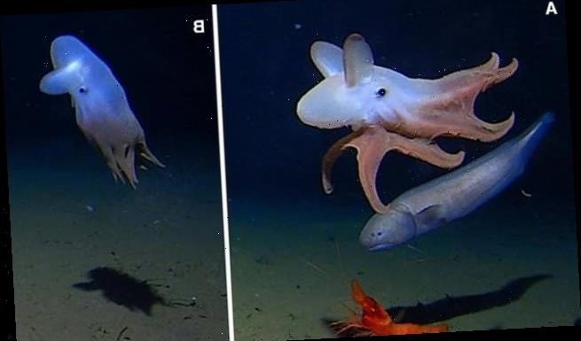 Deepest ever octopus sighting recorded 23,000 feet below the surface
