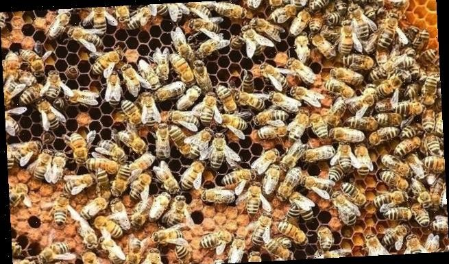 Killer bees' aggression comes from genetics of European insects
