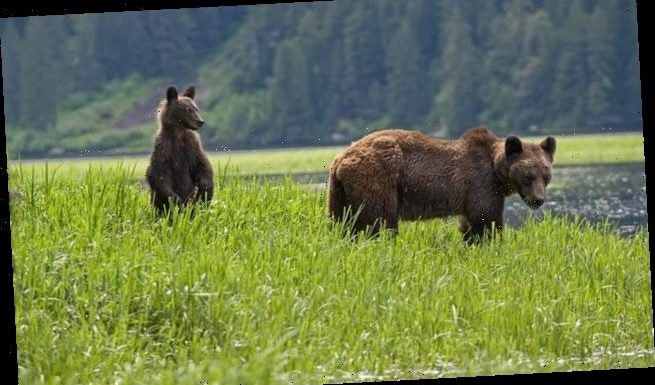 Bears that live close to humans are 7.5 TIMES more likely to die young