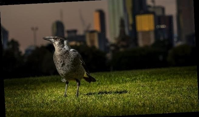 Light pollution interrupts the sleep of magpies and pigeons