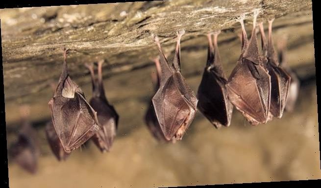 Covid-19 lineage circulating in bats for up to 70 years
