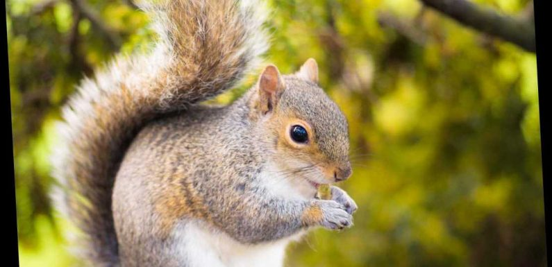 Bubonic plague warning in Colorado as squirrel tests positive for disease amid fears Black Death will jump to humans