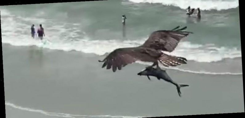 A video of a bird capturing a massive shark-like fish is going viral for its resemblance to 'Sharknado'