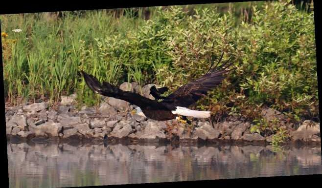 Red-winged blackbird photographed hitching ride on bald eagle's back