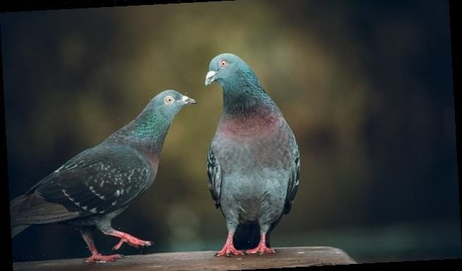 Feeding pigeons bread could be making them more aggressive