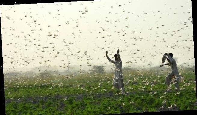 The pheromone that causes locusts to swarm is revealed