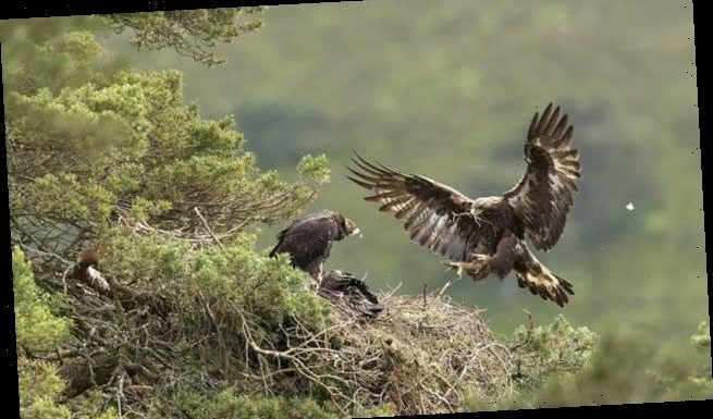 Pair of golden eagles rear a chick at a Scottish 'rewilding' estate