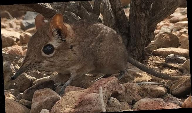 Elusive elephant shrew spotted in Africa