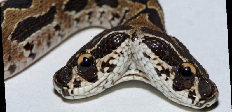 Rare, deadly Russell's viper snake with two heads spotted in India