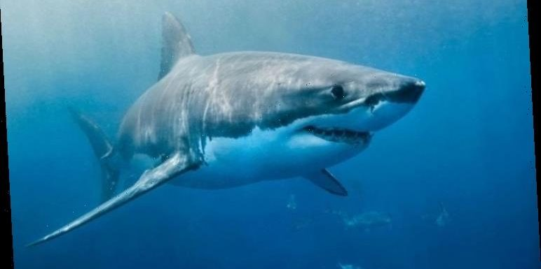 Shark bombshell: Ancient 'armoured' fish may re-write the evolution of sharks