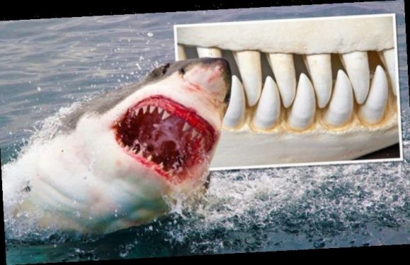 Shark attack: Scientists find great whites with livers 'ripped out' by deadly ocean killer